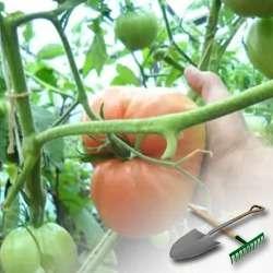 Сорт томата — розовый мед: особенности выращивания