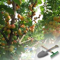 как выращивать абрикосы
