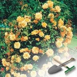 Легко ли вырастить розу из черенков или семян?