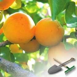 Как выращивать абрикосы на даче