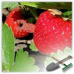 Выращиваем клубнику на даче