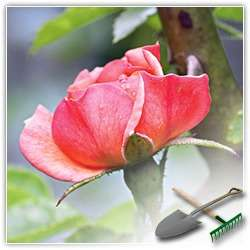 Правильная подкормка роз на вашей даче