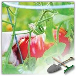 как собрать семена томатов