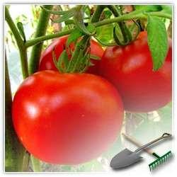 hranenie-pomidor