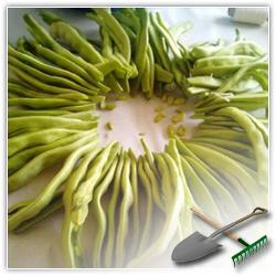 как вырастить фасоль