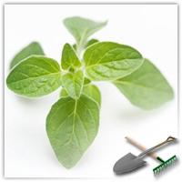 майоран садовый выращивание из семян