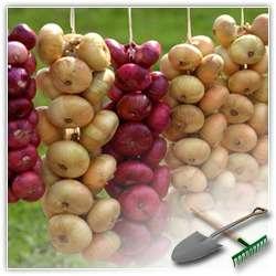 Хранение лука  до следующего урожая