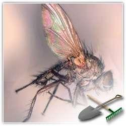 Борьба с луковой мухой: народные методы