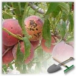 Болезни персикового дерева и методы их лечения