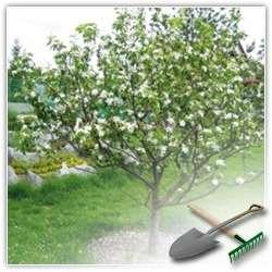 Как контролировать рост и развитие плодовых деревьев?