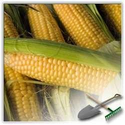 Как все-таки хранить кукурузу
