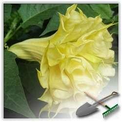 Датура: какие тайны хранит этот цветок?