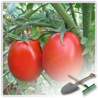 как правильно пасынковать помидоры