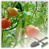 Схема пасынкования помидор
