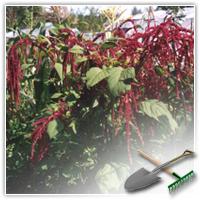 Как выращивать амарант на даче?
