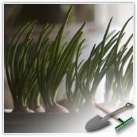 вырастить лук на подоконнике зимой