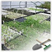 как вырастить здоровую рассаду помидор