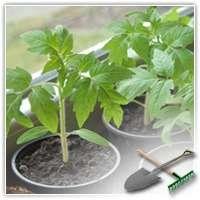 Секрет выращивания здоровой и крепкой рассады томатов