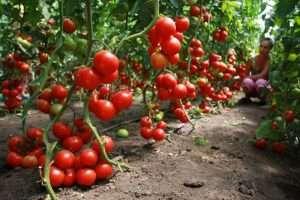 особенности выращивания томатов в теплице