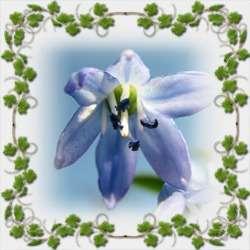 Весенняя синева-пролеска
