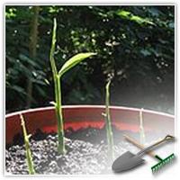 вырастить имбирь из корня в домашних условиях