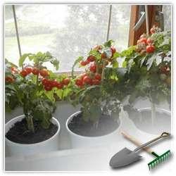 Выращиваем комнатные помидоры