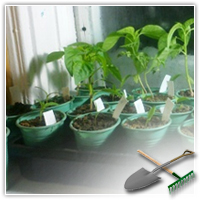 комнатные помидоры выращивание