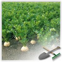 сельдерей корневой выращивание