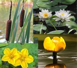 Растения для водоема на даче