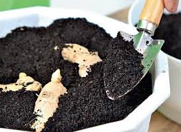 Имбирь: выращивание и уход за растением
