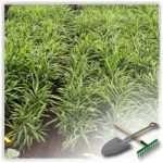 Имбирь: выращивание в домашних условиях