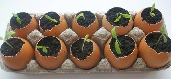 Капуста брокколи: выращивание из семян на даче