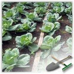 Поговорим про выращивание капусты