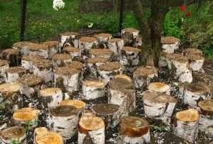 Выращивание грибов на пнях на даче