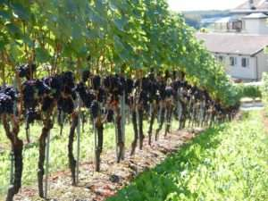 выбираем сорт винограда