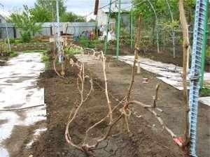 посадка и выращивание винограда на даче
