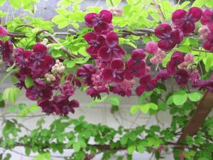 Акебия выращивание и уход на даче