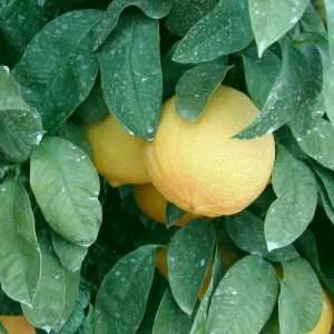 Выращивание бергамота на даче