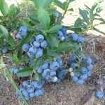 выращивание голубики на даче