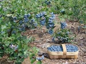 голубика условия выращивания