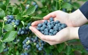 Голубика выращивание и уход