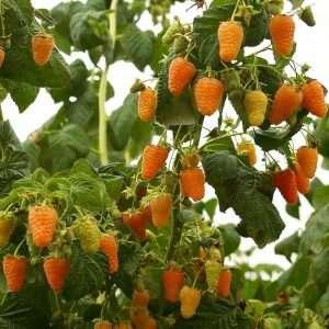 Сорт малины «Оранжевое чудо»