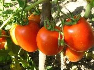 выращивание томатов из семян