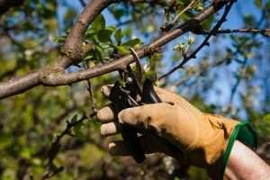 обрезка вишни на даче