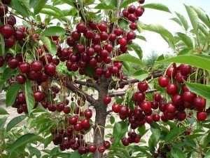 выращивание вишни на даче