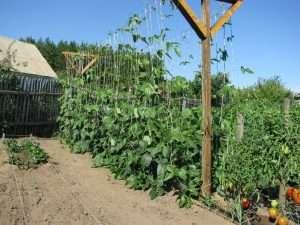 Выбор участка и подготовка почвы для выращивания фасоли на даче