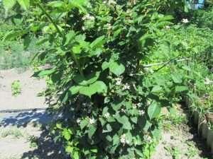 выращивание ежевики садовой