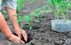 лучшая земля для рассады томатов