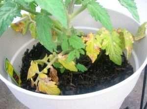 желтеют листья у рассады томатов