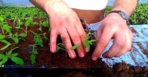 обработка рассады томатов от болезней